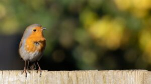Word of the Day – Robin