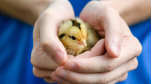 Chickens – Did You Know?
